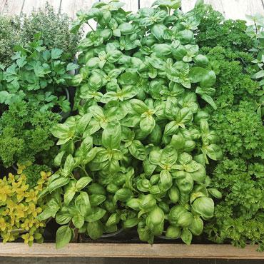 plants-de-fines-herbes