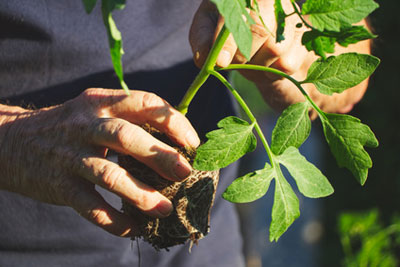 plants-de-legumes-bio